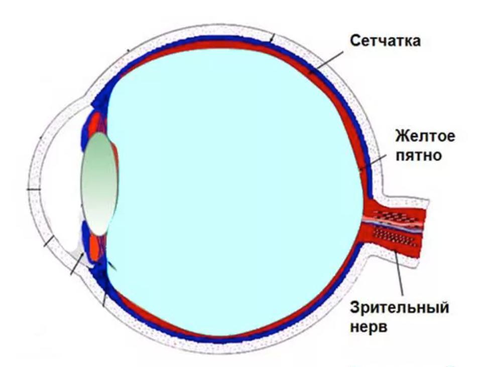 схема крепления глазного нерва к сетчатке